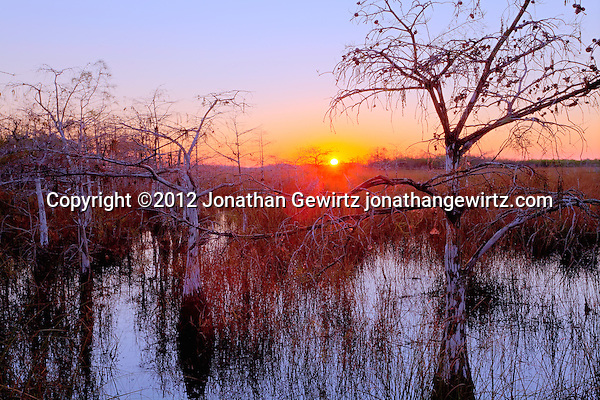 The rising sun backlights dwarf cypress trees in a wetland near Pa-hay-okee Overlook in Everglades National Park, Florida. (©2012 Jonathan Gewirtz / jonathangewirtz.com)