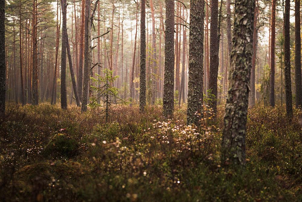 "Sunlit boggy forest with scots pines (Pinus sylvestris) and some small slowly growing spruces (Picea abies) in autumn light, Bezdibeņa purvs, Nature reserve ""Kārķu purvs"", Latvia Ⓒ Davis Ulands | davisulands.com (Davis Ulands/Ⓒ Davis Ulands | davisulands.com)"