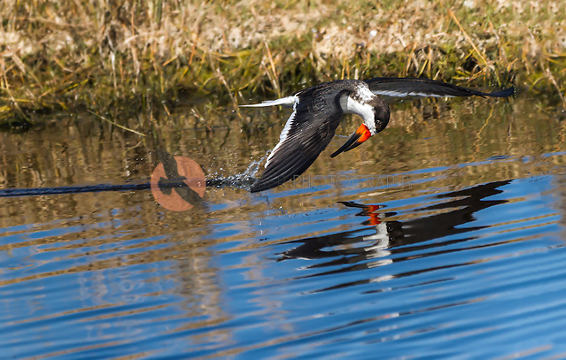 Black Skimmer in flight, along water surface with head pulled down as it comes out of water. Reflection is visible in water. (Sandra Calderbank, sandra calderbank)