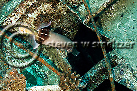 Pacific Trumpetfish Entering Hold, Carthaginian, Maui Hawaii (Steven W SMeltzer)