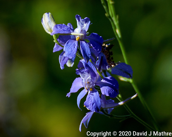 Larkspur. Image taken with a Nikon N1V3 camera and 70-300 mm VR lens (DAVID J MATHRE)