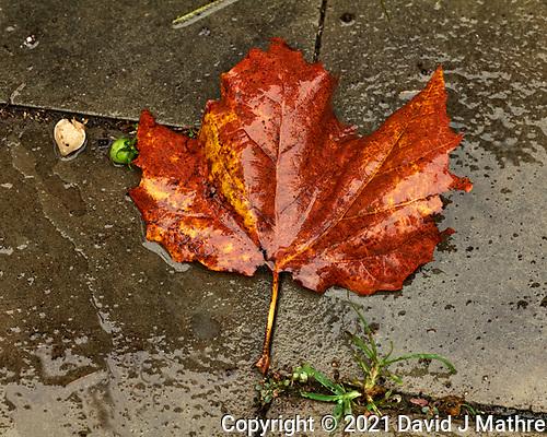 Wet Autumn Leaf. (David J Mathre)