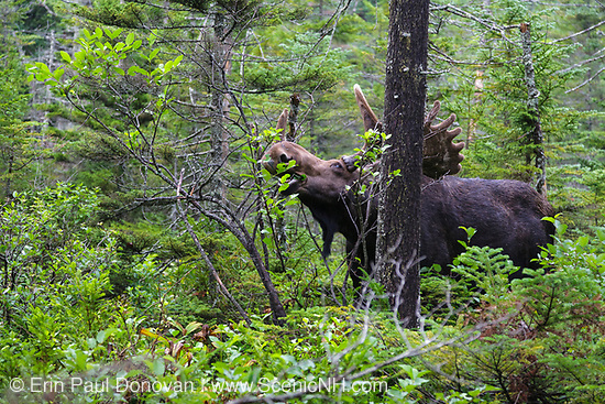 Franconia Notch State Park - Moose eating twigs on the side of Lonesome Lake Trail in the White Mountains, New Hampshire. Moose can be found throughout the White Mountains of New Hampshire and in the state of New Hampshire they are hunted every year. Hunting permits are issued by a lottery drawing. Not many permits are issues and the animal is on the decline. They are very big animals that cause many auto accidents in the state.