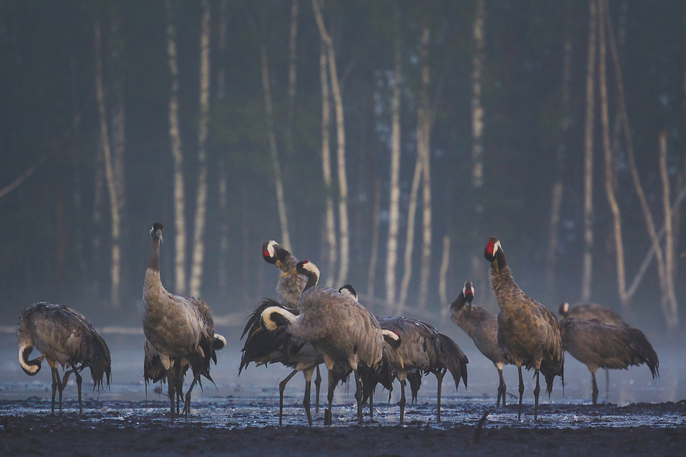Common cranes (Grus grus) in their roosting site preening while standing on recultivated peat field, Ķemeri National Park, Latvia Ⓒ Davis Ulands | davisulands.com (Davis Ulands/Ⓒ Davis Ulands | davisulands.com)