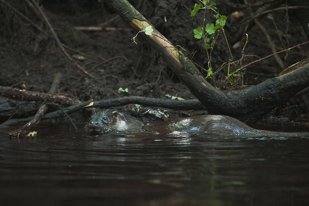 Eurasian otter (Lutra lutra) in river Iesala, Northern Vidzeme, Latvia Ⓒ Davis Ulands | davisulands.com (Davis Ulands/Ⓒ Davis Ulands | davisulands.com)