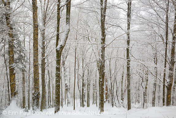 Winter forest scene at Lafayette Brook Scenic Area in Franconia, New Hampshire after a snow storm.
