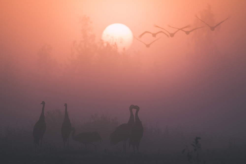 Foggy autumn morning with flocks of common cranes (Grus grus) in migration stopover site, Ķemeri National Park, Latvia Ⓒ Davis Ulands | davisulands.com (Davis Ulands/Ⓒ Davis Ulands | davisulands.com)