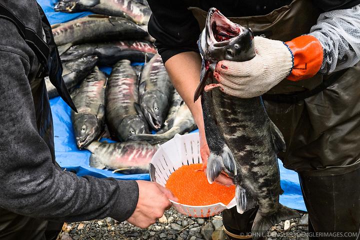After Years At Sea Chum Salmon Return To Herman Creek