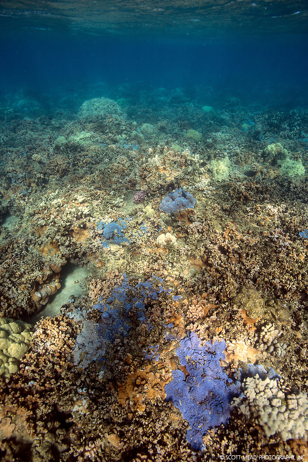 Purple Patches of Coral Reef