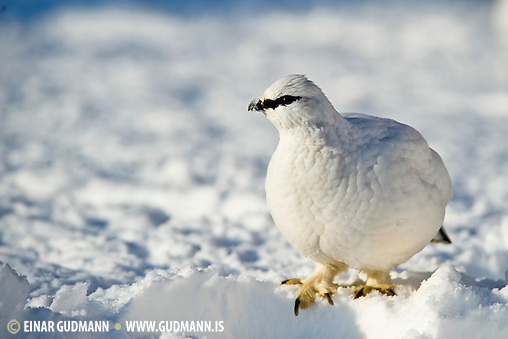 The Rock Ptarmigan (Lagopus muta) is a medium-sized (31-35 cm or 12-14 in.) gamebird in the grouse family. It is known simply as Ptarmigan in Europe and in North America it is called Snow Chicken or Partridge (Einar Gudmann, Einar Guðmann)