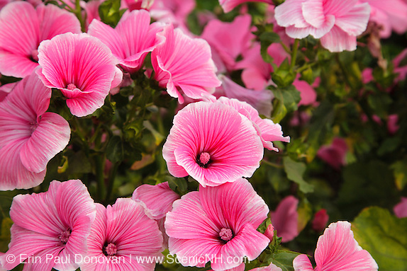 Rose Mallow....Lavatera trimestris....during the summer months at  Prescott Park in Portsmouth, New Hampshire USA.