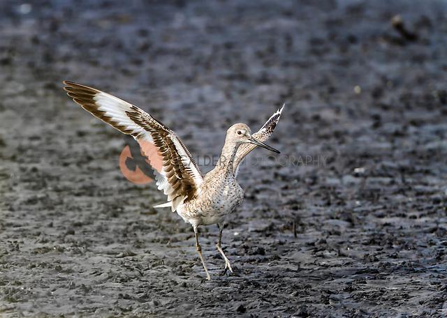 Willet taking of in flight from mudflats (Sandra Calderbank, sandra calderbank)