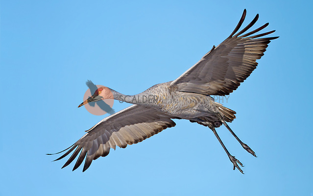 Sandhill Crane coming in for a landing with wings outstretched (sandra calderbank)