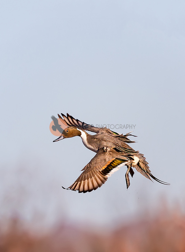 Male Northern Pintail, landing with feet down (Sandra Calderbank, sandra calderbank)