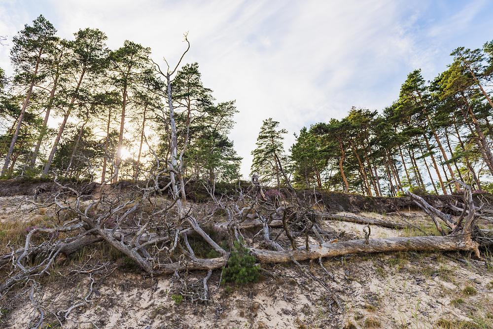 Fallen scots pine (Pinus sylvestris) on steep sand shore near Melnsils, Kurzeme seacoast, Latvia Ⓒ Davis Ulands | davisulands.com (Davis Ulands/Ⓒ Davis Ulands | davisulands.com)