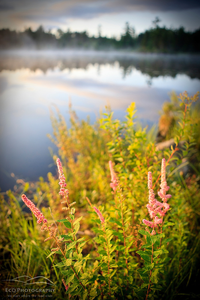 Steeplebush, Spiraea tomentosa, blooming on the shoreline of Little Bear Brook Pond in Errol, New Hampshire. Northern Forest (Jerry and Marcy Monkman)