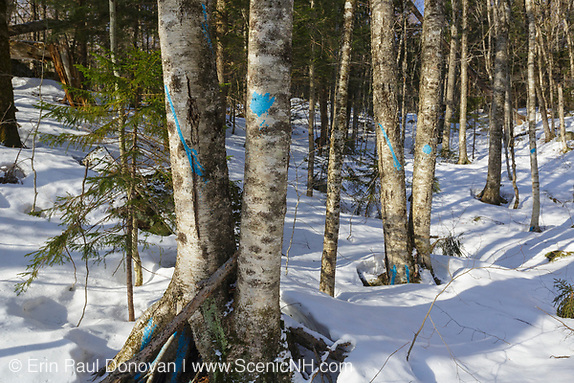 Unit 43 of the Kanc 7 Timber Harvest logging project along the Kancamagus Scenic Byway in the White Mountains of New Hampshire USA. The blue paint indicates the tree will be cut during the timber harvest.