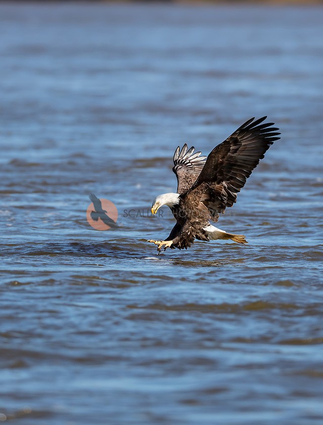 Adult Bald Eagle with feet forward, about to catch a fish in water. Fish is visible in water (SandraCalderbank, sandra calderbank)