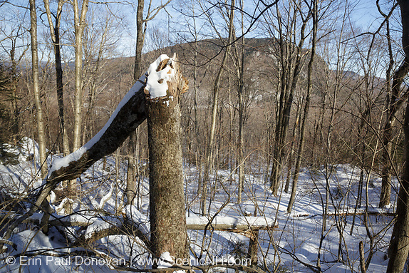 Snapped birch tree in Kinsman Notch of the White Mountains, New Hampshire USA during the winter months.