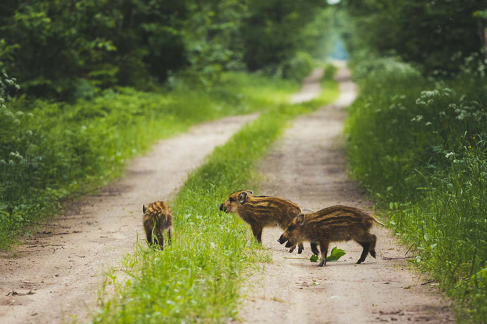 Wild boar (Sus scrofa) piglets playfully running across the gravel road, Ķemeri National Park, Latvia Ⓒ Davis Ulands | davisulands.com (Davis Ulands/Ⓒ Davis Ulands | davisulands.com)