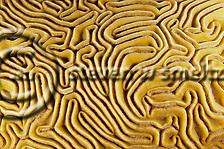 Grooved Brain Coral, Diploria labyrinthiformis, Grand Cayman (Steven Smeltzer)