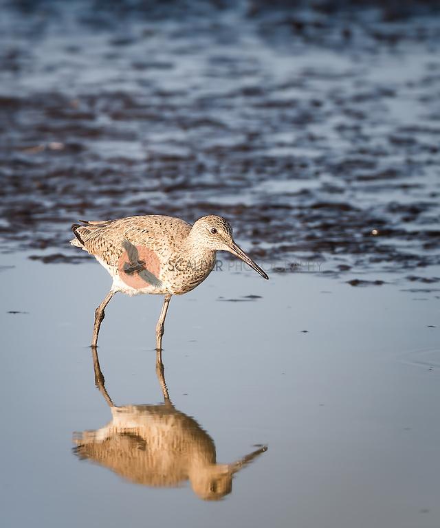 Willet standing in water with full reflection (Sandra Calderbank, sandra calderbank)