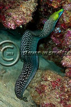 Undulated Moray, Gymnothorax undulatus, (Lacepède, 1803), Maui, Hawaii (Steven Smeltzer)