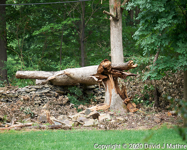 Downed Oak Tree post Tropical Storm Isaias. Image taken with a Leica SL2 camera and 90-280 mm lens (DAVID J MATHRE)