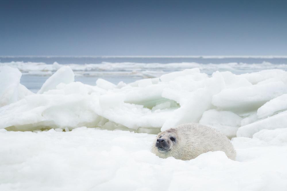 Young grey seal (Halichoerus grypus) cub on ice in Gulf or Riga, Latvia Ⓒ Davis Ulands | davisulands.com (Davis Ulands/Ⓒ Davis Ulands | davisulands.com)