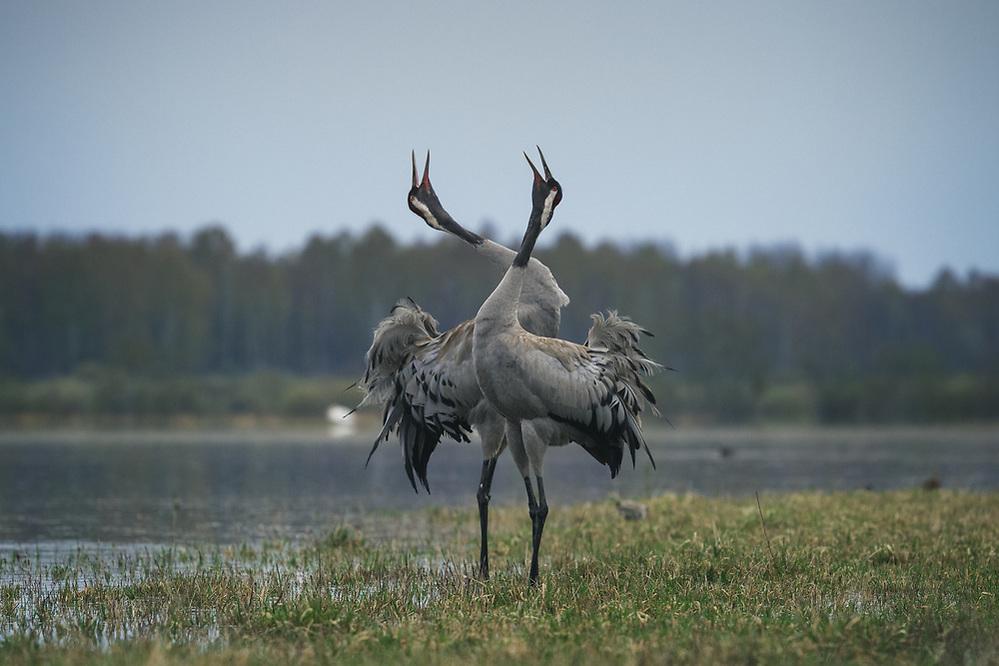 "A pair of common cranes (Grus grus) singing in courtship ritual, nature park ""Dvietes paliene"", Latvia Ⓒ Davis Ulands | davisulands.com (Davis Ulands/Ⓒ Davis Ulands | davisulands.com)"