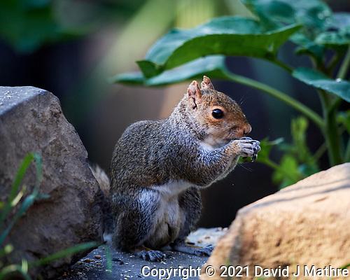 Squirrel. (David J Mathre)