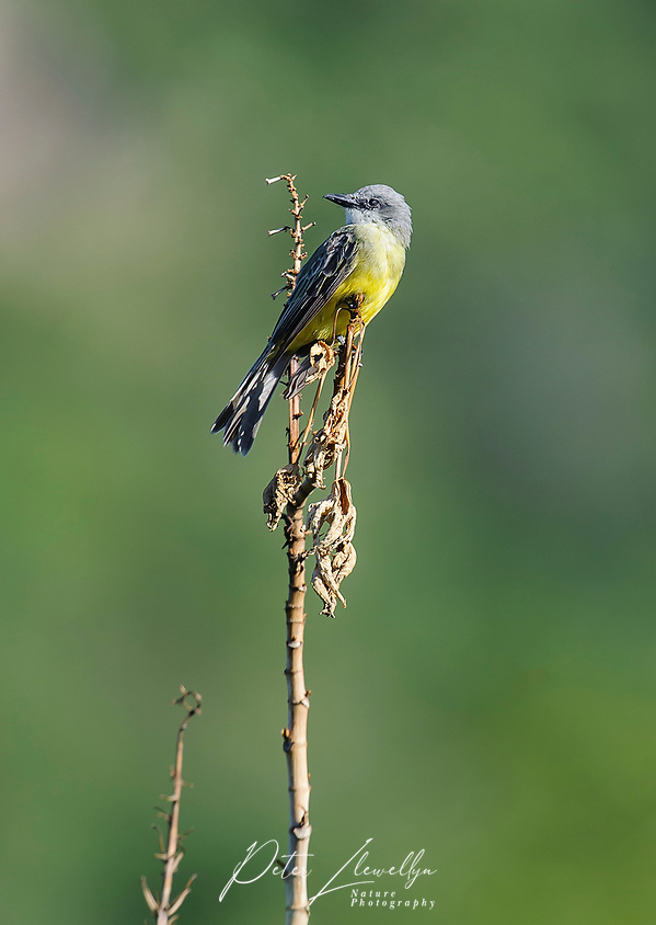 Western Kingbird (Tyrannus verticalis) perched in a tree, Alan Lloyd trail, Ajijic, Jalisco, Mexico (Peter Llewellyn)