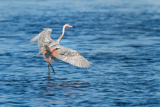 Reddish Egret displaying feeding behavior, running with wings spread (Sandra Calderbank, sandra calderbank)