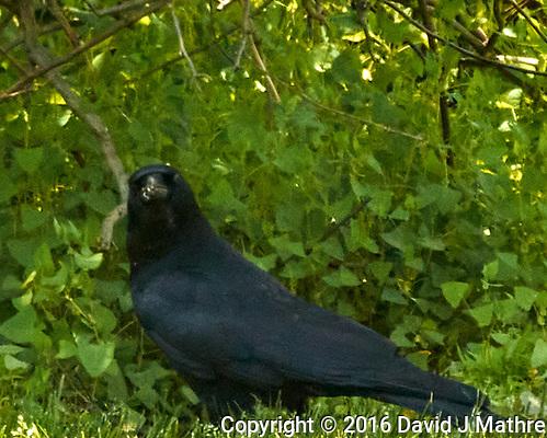 American Crow. (David J Mathre)