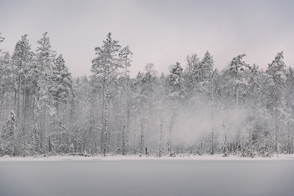 Strong wind gust blows powdery snow off the trees. In early morning over frozen nameless lake and surrounding forests on snowy winter day in Vidzeme, near Nītaure, Vidzeme, Latvia Ⓒ Davis Ulands | davisulands.com (Davis Ulands/Ⓒ Davis Ulands | davisulands.com)
