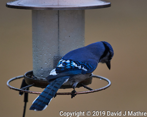 Blue Jay. (David J Mathre)