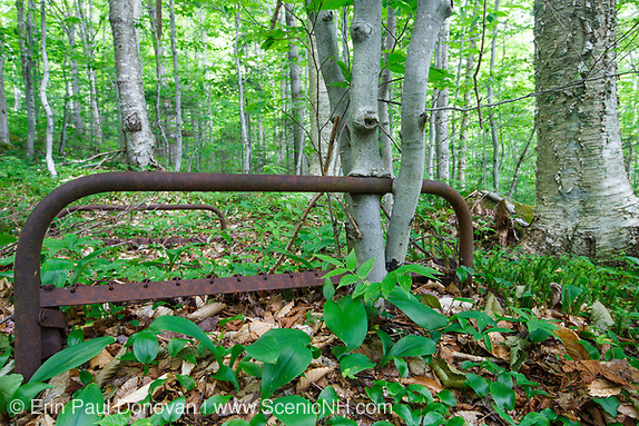 Young beech trees growing around a rusted bedframe near Mount Blue in Kinsman Notch of the White Mountains, New Hampshire. This bed frame is possibly from an old logging camp of the Gordon Pond Railroad, which was a logging railroad in operation from 1905-1916.