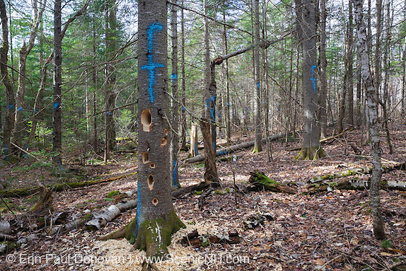 Fresh woodpecker holes in a marked softwood tree in Unit 49 of the Pemi Northwest timber harvest project in Benton, New Hampshire during the month of March. The blue paint marks indicate that the tree will be cut during the timber harvest.