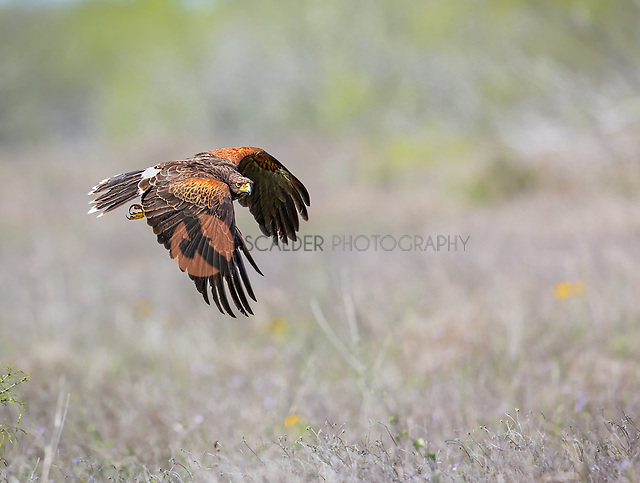 Adult Harris's Hawk in flight with wings in downstroke (sandra calderbank)