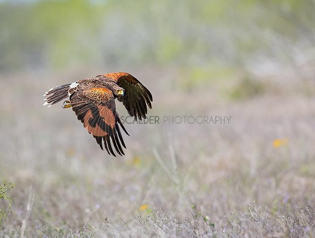 Adult Harris's Hawk in flight with wings in downstroke (sandra calderbank)