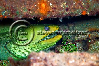 Green Moray Eel in Oro Verde wreck, Gymnothorax funebris, Grand Cayman (Steven Smeltzer)