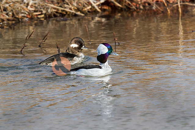 Pair of Male and Female Bufflehead Ducks swimming side by side (Sandra Calderbank, sandra calderbank)