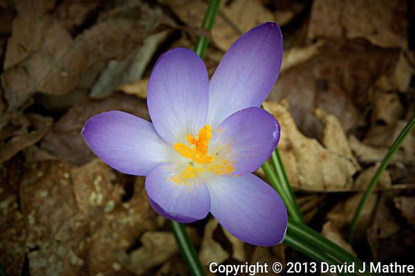 Purple Crocus. (David J Mathre)