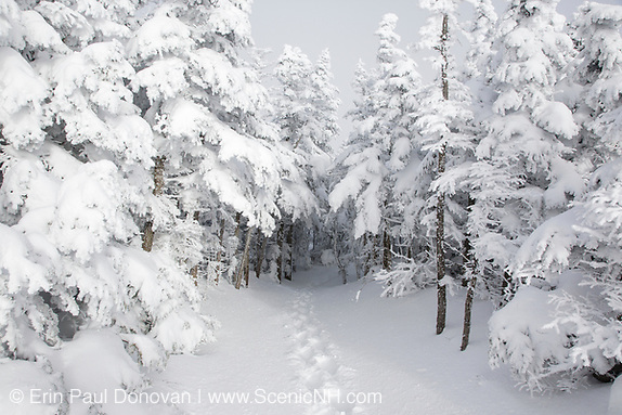 Our holiday print sale is now active. Snow covered softwood forest along the Mount Osceola Trail on the summit of Mount Osceola in the White Mountains, New Hampshire during the winter months. This picture perfect scene is near the summit of Mount Osceola.