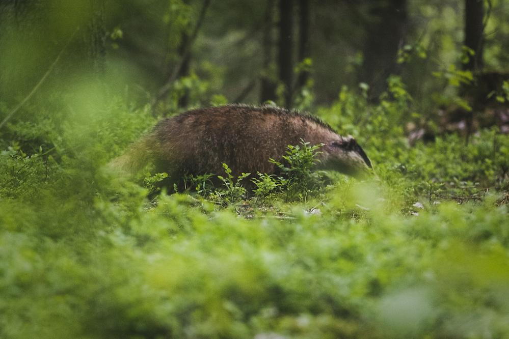 Badger (Meles meles) in coniferous forests undergrowth, Vidzeme, Latvia Ⓒ Davis Ulands | davisulands.com (Davis Ulands/Ⓒ Davis Ulands | davisulands.com)