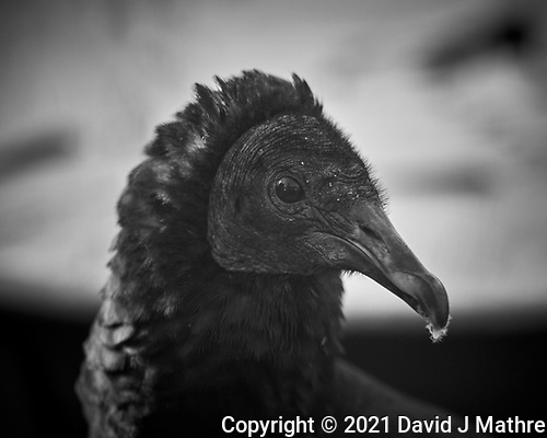 Black Vulture. (David J Mathre)